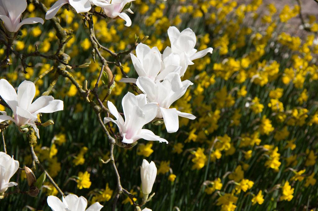 Magnolienblüte im Rhododendron-Park Bremen